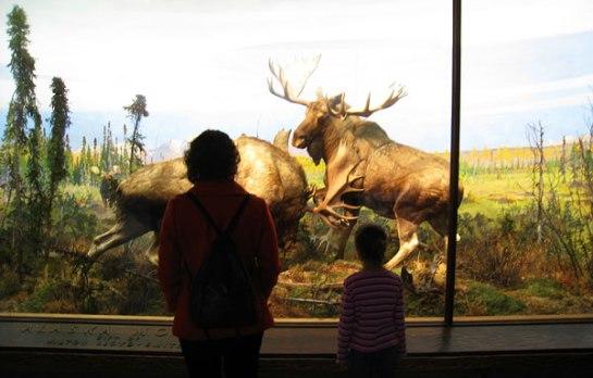 looking-at-moose-4