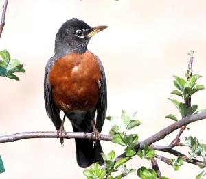 Turdus migratorius, American robin